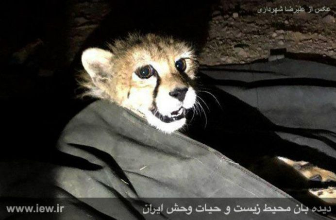 The eight-month-old cheetah that has been captured and sold. Source: Kayhan London