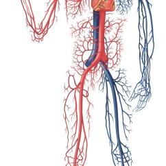 Circulatory System Heart Diagram Unlabeled Kenwood Kdc Mp242 Wiring 2 The Cardiovascular   Kaylacastaneda