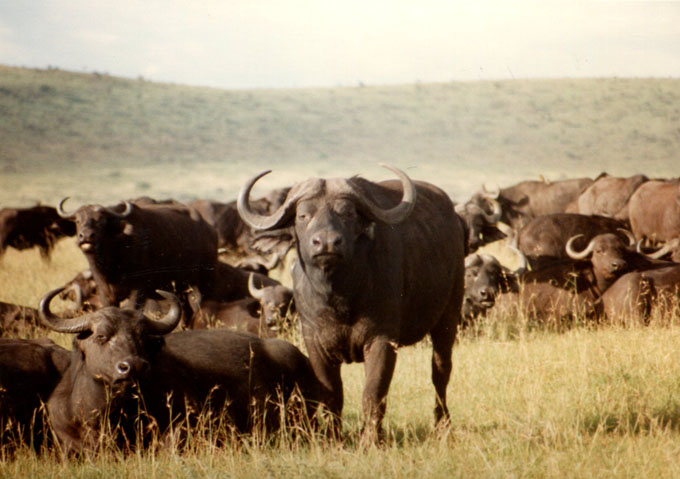 african buffalo, safari, found film,