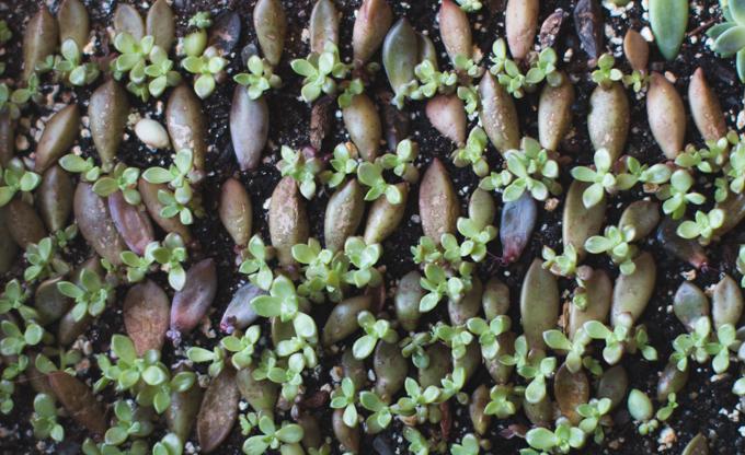 succulent pups, succulents,