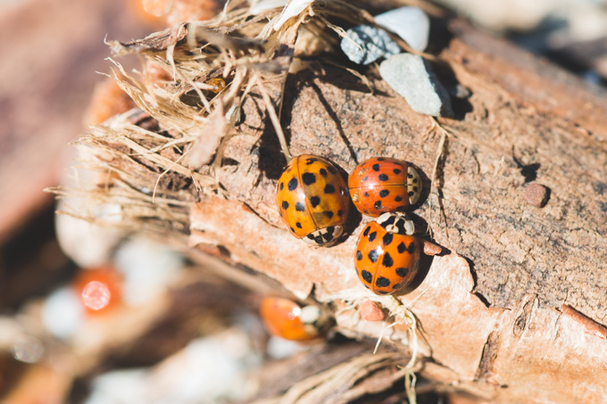 2016's ladybug invasion - THE DAINTY SQUID