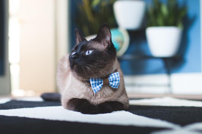 cat bowtie, bow collar