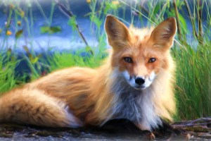 long haired fox