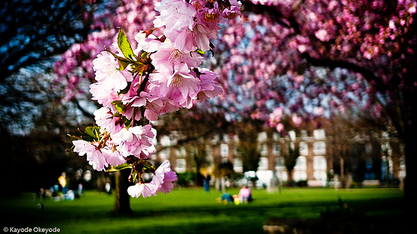 Spring and Cherry Blossoms