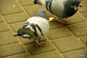 Весёлые голуби