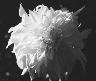 Dahlia blanc de mon jardin...