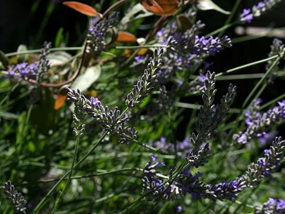 Les lavandes de mon jardin... Photo Marie-Sophie Bock-Digne aka Kazamarie