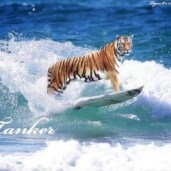 tigeronsurfboard6
