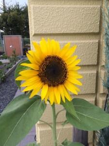 スクエアの花壇にも福島の向日葵が一輪咲きました!