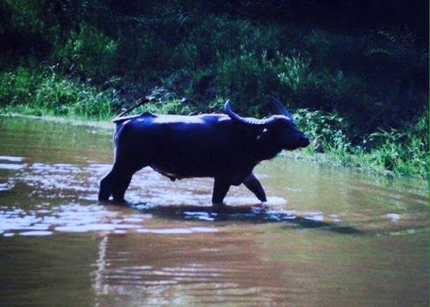 Asiatic Water Buffalo Kaziranga National Park in Assam