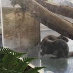 仙台うみの杜水族館、餌は他にもあるのに取り合うニホンリス #s_uminomori https://t.co/If1CsgXMmG