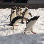 仙台うみの杜水族館、ペンギンスノーパレード #s_uminomori https://t.co/Fk7Ucu91gL