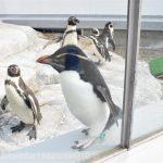 仙台うみの杜水族館、ペンギンが間近で見られて良いよね。 #s_uminomori https://t.co/lqNadUKLdC