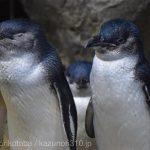 仙台うみの杜水族館、フェアリーペンギンさん #s_uminomori https://t.co/XdcomELI0b