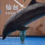 仙台うみの杜水族館、ハードル飛び越え失敗したイルカさん(珍しい https://t.co/Eg3Wgruu3e