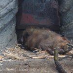 仙台うみの杜水族館、アメリカビーバーの寝顔 https://t.co/2r84foNgBI