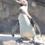 仙台うみの杜水族館、暑そうなペンギンさん https://t.co/lLETIu3rSb