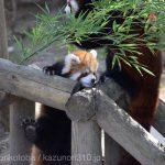 仙台市八木山動物公園、レッサーパンダの赤ちゃん https://t.co/N4GWJIoDaA