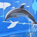 仙台うみの杜水族館、バンドイルカのイルカショー https://t.co/UqrQHoIstR