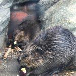 仙台うみの杜水族館、アメリカビーバーの朝食 #s_uminomori https://t.co/FUTTAi9o9v