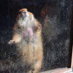 仙台市八木山動物公園、オグロプレーリードッグ 4枚添付。パラパラ見ると良い感じ https://t.co/KPeFKB0RTD
