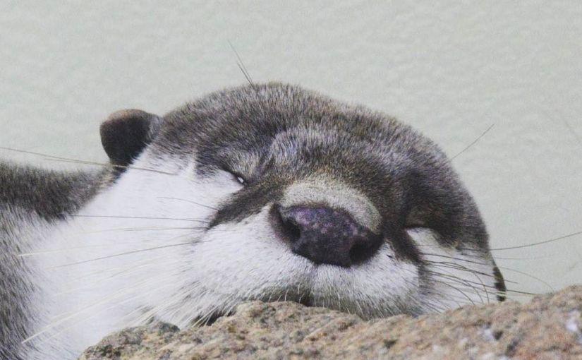#仙台うみの杜水族館 #ツメナシカワウソ #nikonD5300 眠いんですが