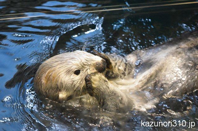 #須磨海浜水族園 #ラッコ #nikonD5300