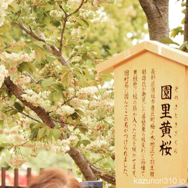 #造幣局 #桜の通り抜け #園里黄桜