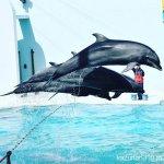 #バンドウイルカ #イルカショー #須磨海浜水族園 #nikonD5300 4頭でハードルジャンプ