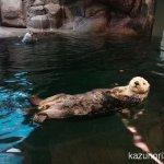 #ラッコ #須磨海浜水族園 尻尾で舵を取る