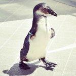 #ペンギンパフォーマンス #ベガルタ仙台ver #仙台うみの杜水族館 #nikonD5300