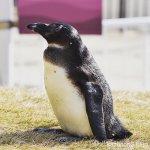 #ケープペンギン #かいじゅうアイランド #マリンワールド海の中道 #nikonD5300