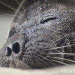 #バイカルアザラシ #仙台うみの杜水族館 #nikonD5300