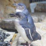 #フェアリーペンギン #仙台うみの杜水族館 #nikonD5300