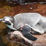 #フンボルトペンギン #宮島水族館 #nikonD5300