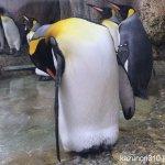 #オウサマペンギン #仙台うみの杜水族館 #iPhone7Plus