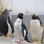 #イワトビペンギン #ジェンツーペンギン #仙台うみの杜水族館 #nikonD5300