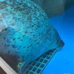 #ゴマフアザラシ #仙台うみの杜水族館 #iPhone7Plus いつもの視線で