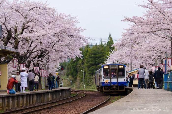 能登鹿島駅の桜のトンネル