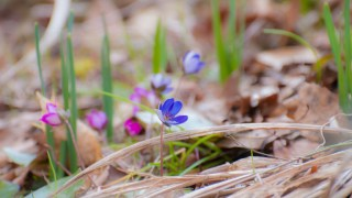 小松・憩いの森で春を探す~ミズバショウや雪割草~