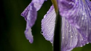 金沢・卯辰山花菖蒲園で紫陽花と菖蒲が咲き始めました。