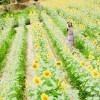 向日葵畑でつかまえてin金沢市平栗