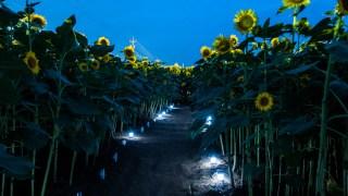 河北潟のひまわり村でライトアップが始まっています☆8月1日までのようです。