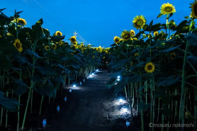 河北潟ひまわり村のライトアップ