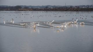 今シーズン初の羽咋・邑知潟で白鳥の飛翔を捉えました