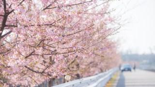 白山市美川インター近くの河津桜並木が見ごろです