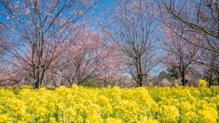 菜の花(黄色)と桜(ピンク)のコラボが美しい富山県中央植物園☆