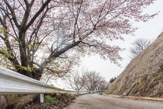 県道27号線金沢井波線沿いの山桜並木
