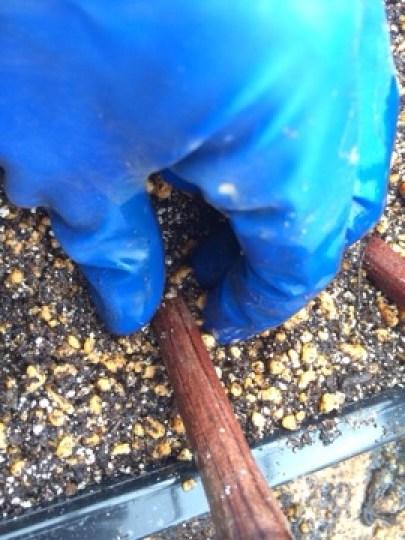 ブドウの挿し木の方法を解説【使った道具・用土・挿し木の時期やコツ】 458