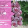 育種1号【種無しブドウ】 49